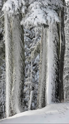 Trees in winter covered in snow